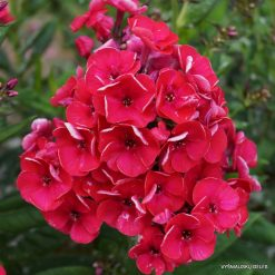 Phlox 'Strawberry Daiquiri'
