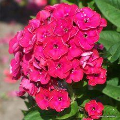 Phlox 'Strawberry Daiquiri' (4)