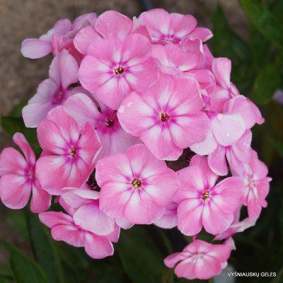 Phlox 'Sweet Summer Candy'