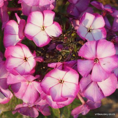 Phlox 'Sweet Summer Fantasy' (2)