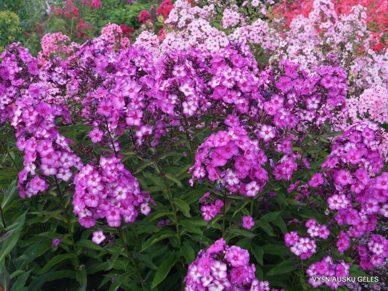 Phlox 'Sweet Summer Fantasy'
