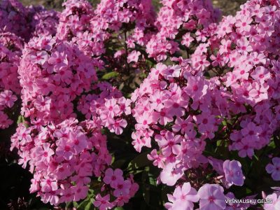 Phlox 'Sweet Summer Melody' (2)