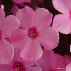 Phlox 'Sweet Summer Melody' (3)