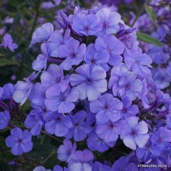 Phlox 'Sweet Summer Ocean'