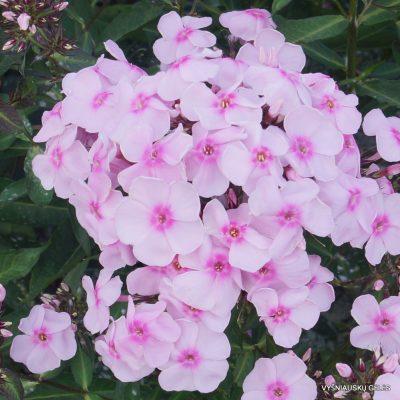 Phlox 'Sweet Summer Sensation'