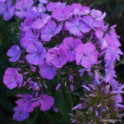 Phlox 'Sweet Summer Temptation'