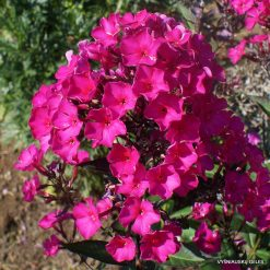 Phlox 'Sweet Summer Wine'