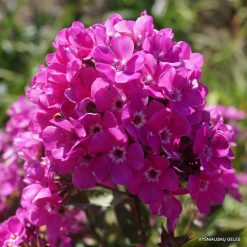 Phlox 'Sweet William'