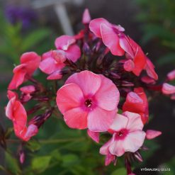 Phlox 'Tecklenburger Land'