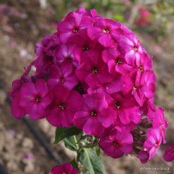 Phlox 'The King'
