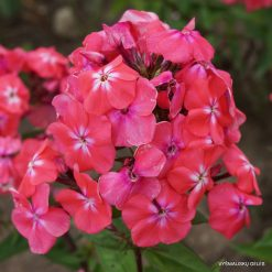 Phlox 'Watermelon Punch'