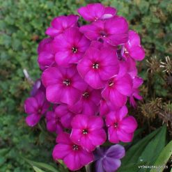 Phlox 'Wendy House'