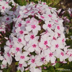 Phlox 'White Eye Flame'
