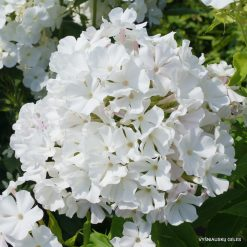 Phlox 'White Flame'