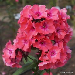 Phlox 'Windsor'