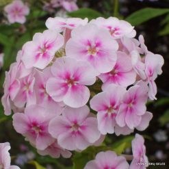 Phlox 'Younique Bicolour'