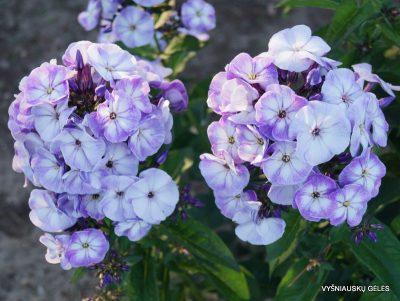 Phlox 'Younique Old Blue' (3)