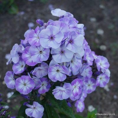 Phlox 'Younique Old Blue'