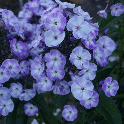 Phlox 'Younique Old Blue' (8)