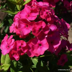 Phlox 'Younique Old Cerise'