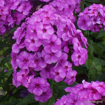 Phlox 'Younique Old Purple'