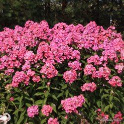 Phlox 'Sweet Summer Dream' (4)