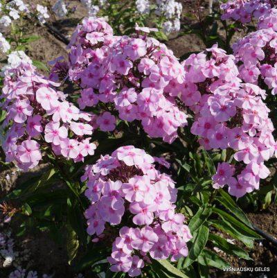 Phlox 'Sweet Summer Favourite' (2)