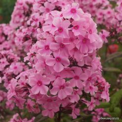 Phlox 'Sweet Summer Melody'