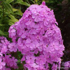 Phlox amplifolia wild form