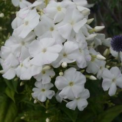 Phlox paniculata 'Diana' (2)