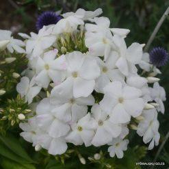 Phlox paniculata 'Diana' (6)