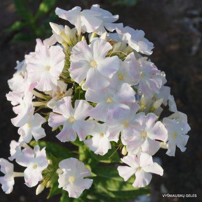 Phlox paniculata 'Diana' (7)