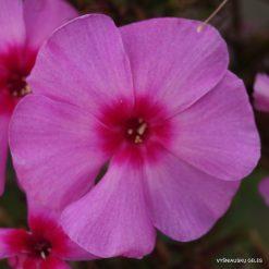 Phlox paniculata 'Dorffreude' (3)