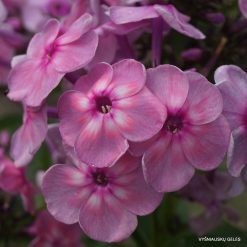 Phlox paniculata 'Rainbow Dancer'