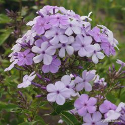 Phlox paniculata wildform