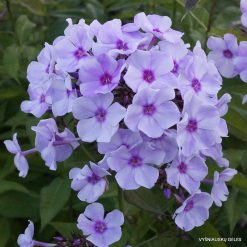 Phlox 'Blue Bird' (2)