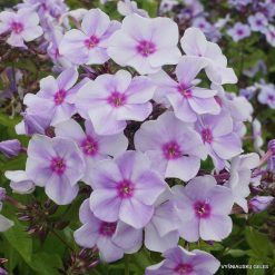 Phlox 'Blue Bird' (3)