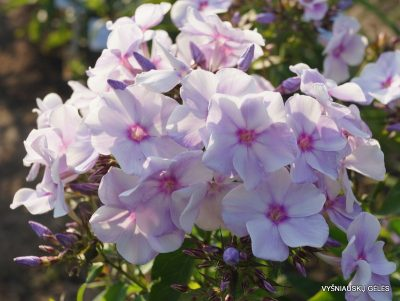 Phlox 'Blue Bird' (5)