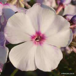 Phlox 'Blue Bird' (8)