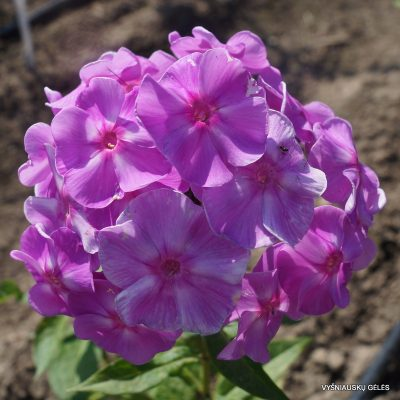 Phlox 'Blue Boy'