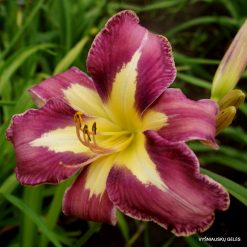 daylily 'Aerial Applique'