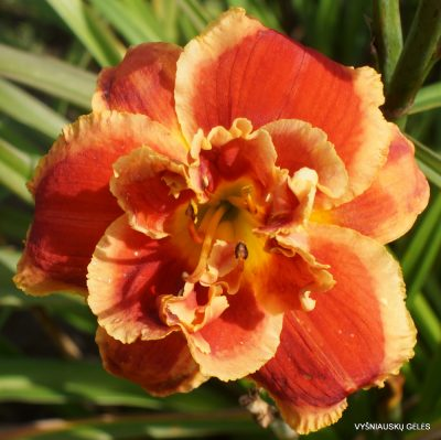 daylily 'After the Fire'