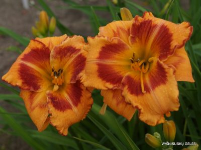 daylily 'All Fired Up' (2)