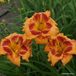 daylily 'All Fired Up' (3)