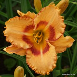 daylily 'All Fired Up' (4)