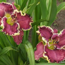 daylily 'All Things to All Men' (2)