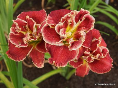 daylily 'Amanda's Little Red Shoes' (2)