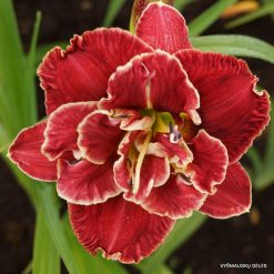 daylily 'Amanda's Little Red Shoes' (3)