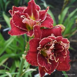 daylily 'Amanda's Little Red Shoes' (4)