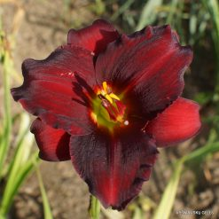 daylily 'Arterial Blood'